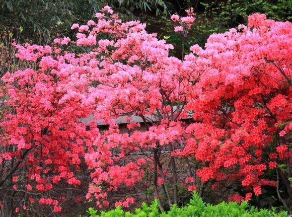 1991年五莲山风景区又被全国杜鹃花协会列为全国第二个杜鹃花自然保护